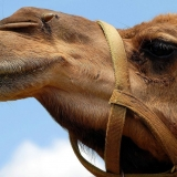 Think-your-cut-out-for-riding-a-camel-1024x683